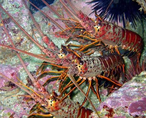 Fish reef project california reef project for Lobster fishing california
